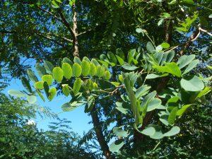 Falsa acacia (Robinia pseudoacacia)