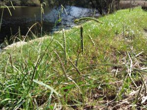 Grama de agua (Paspalum dilatatum)