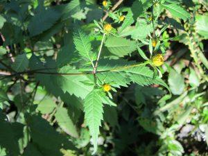 Aceitilla (Bidens frondosa)