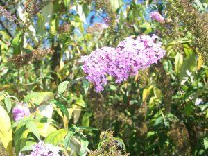 Arbusto de las mariposas (Buddleja davidii)