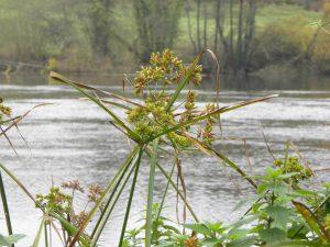 Sombrilla (Cyperus eragrostis)