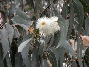 Eucaliptos (Eucalyptus globulus)