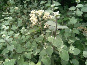 Siempreviva (helichrysum petiolare)