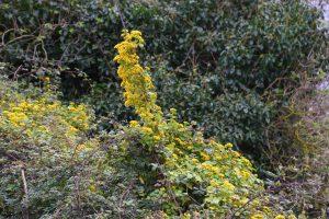 Senecio oloroso (Delairea odorata)