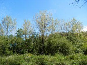 Chopo híbrido (Populus x canadensis)